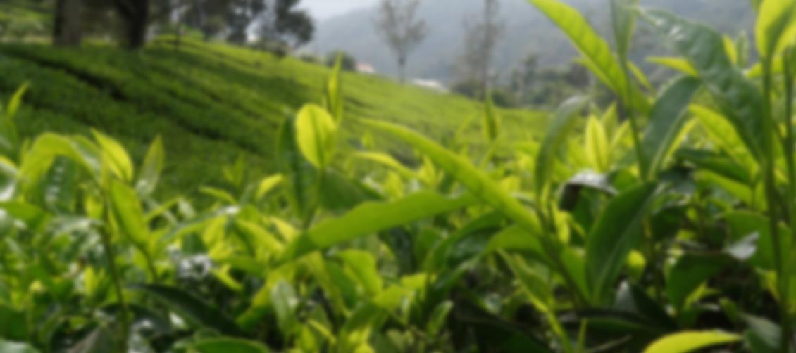 lemon-plantation-background